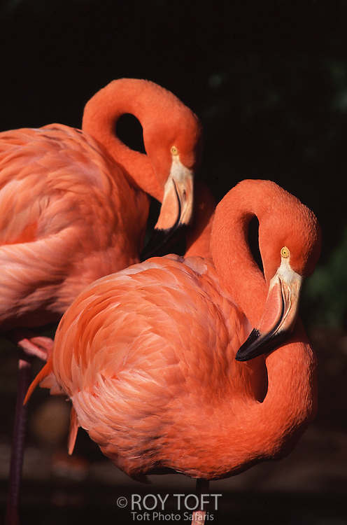 Two chilean flamingos (Phoenicopterus chilensis) at rest.