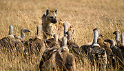 A spotted hyena, Crocuta crocuta, is challenged by a pack of White-backed vultures in Maasai Mara, Kenya.