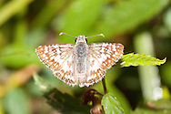 Common Checkered-Skipper (Pyrgus communis)<br /> TEXAS: Victoria Co.<br /> Riverside Park; Victoria<br /> 14.Nov.2009<br /> J.C. Abbott