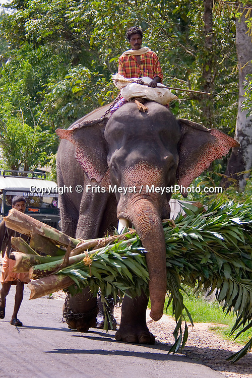 Wayanad, Kerala, India, April 2008. An Elephant carries his own lunch on the way to a job. The Wayanad district of Kerala offers wildlife viewing opportunities, an insight into tribal culture evocative of earlier centuries, trekking and other adventure activities. Photo by Frits Meyst/Adventure4ever.com