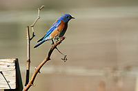 Western Bluebird (Sialia mexicana) perched on post,  Healdsburg, California, USA