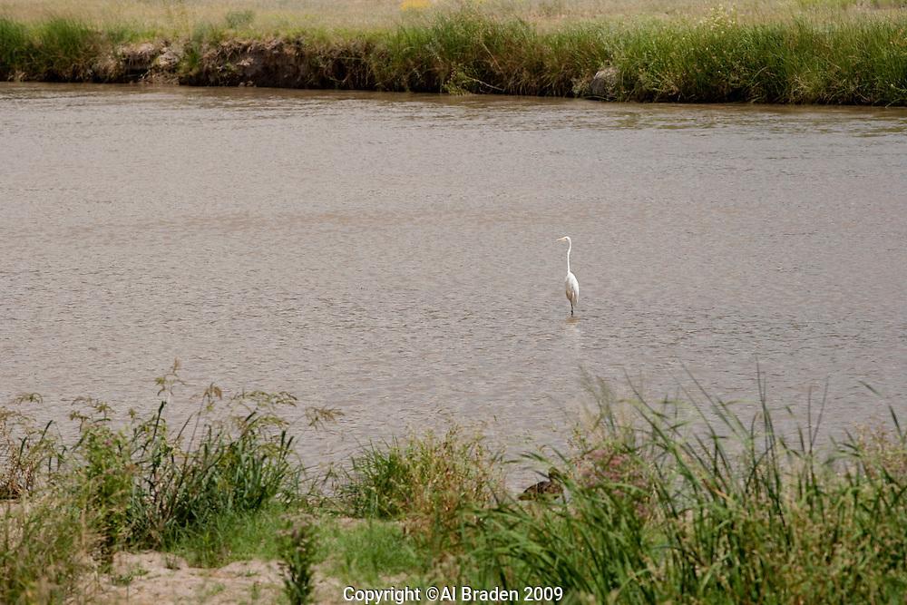 Egrets fish in the Rio Grande near diversion dam, El Paso, TX.