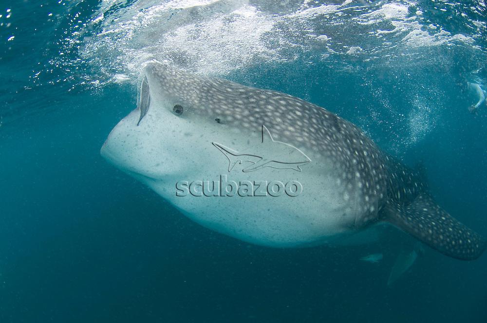 Whale shark, Rhinocerous typus, feeding, Hanifaru, Baa Atoll, Maldives.