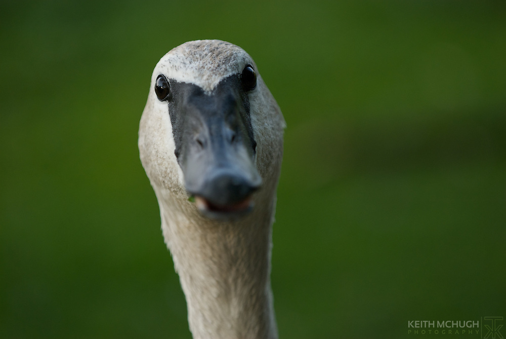 Adult Trumpeter Swan with a puzzled look, staring at the camera.  Original photograph by KTM photo.