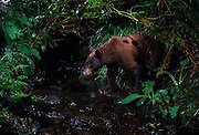 A wild black bear (Ursus americanus) in a stream in SW Washington. This bear was photographed on the de-commisioned U.S. Army Camp Bonneville. Nearly a century of live fire exercises left parts of the camp riddled with unexploded ordinance. The camp was closed, and the animals moved into the area.