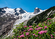 Magenta flowers. The Hound's Tooth (2819 meters) rises above Bugaboo Glacier in Bugaboo Provincial Park, in the Purcell Range of the Columbia Mountains, British Columbia, Canada. The Spires Trail to Conrad Kain Hut is 6 miles round trip with 2400 ft gain.