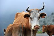 14/06/15 - REGION DE CORTE - HAUTE CORSE - FRANCE - Vaches et veau de race Corse dans le maquis - Photo Jerome CHABANNE