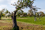 A blooming tree in the fields of Stierstadt which belongs to the city of Oberursel.