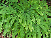 Five-Finger Fern (or Western Maidenhair, Latin name Adiatnum pedatum aleuticum) thrives in the lush green Twin Falls Natural Area, Ollalie State Park, in the Cascade foothills of western Washington, USA.