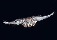 Great Horned Owl, Bubo virginianus, head-on flight (Ohio)