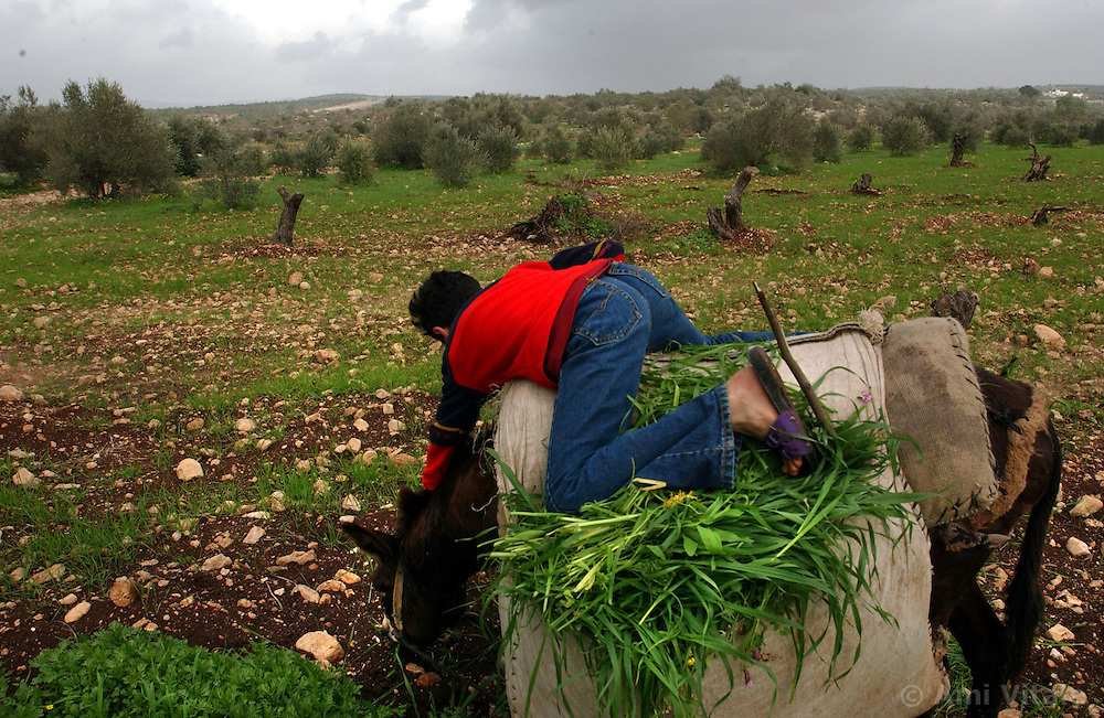 QAFIN, WEST BANK, FEBRUARY 21: Palestinian children collect grass in olive groves February 21, 2003 that have been cut down in order to build a wall that will separate the West Bank from Israel alongside their village of Qafin .  The villagers will not be able to access their land once the wall has been erected.(Ami Vitale/Getty Images).
