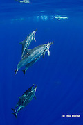 Hawaiian spinner dolphins or Gray's spinner dolphin or long-snouted spinner dolphins, Stenella longirostris longirostris, surfacing at Honaunau, Kona Coast, Big Island, Hawaii ( Central Pacific Ocean )