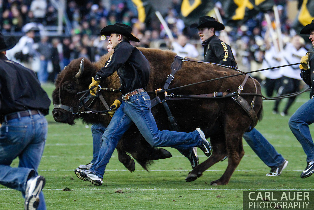 October 5th, 2013:  Ralphie the Buffalo takes to the field to start the second half of the NCAA football game between the University of Oregon Ducks and the Colorado Buffaloes at Folsom Field in Boulder, Colorado
