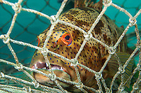 A Coral Grouper awaits its fate in the net of local subsistence fishermen.<br /> <br /> Shot in Indonesia