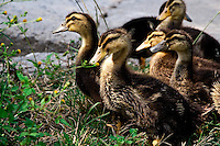 A group of young ducks fossicking in the grass on the side of the road.