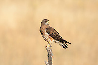 Red Tailed Hawk sitting on a fence post watching over a wheat field.