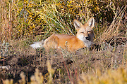 A red fox (Vulpes vulpes) rests in a field near Ohio Creek in the Gunnison National Forest in Colorado. Red foxes are typically found in remote, forested hilly areas near marshes and streams. The red fox has an especially wide range. It's native to most of United States and Canada, Europe, North Africa, and nearly all of Asia, including Japan.