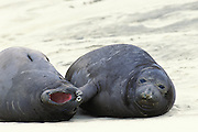 Northern Elephant Seal <br /> Mirounga angustirostris<br /> Weaned pups<br /> Ano Nuevo State Reserve, CA, USA
