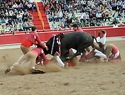 BEA AHBECK/NEWS-SENTINEL<br /> Amadores de Ramo Grande de Terceira attempt to grab the bull during the bloodless bullfight during the Our Lady of Fatima Portuguese Festival in Thornton Saturday, Oct. 15, 2016.