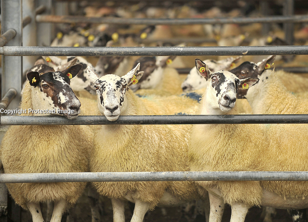 Mule Hoggets at this years Mayo Mule and Greyface Show & Sale in Ballinrobe.<br /> Pic Conor McKeown