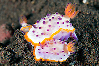 Nudibranchs congregating, perhaps in a prelude to mating