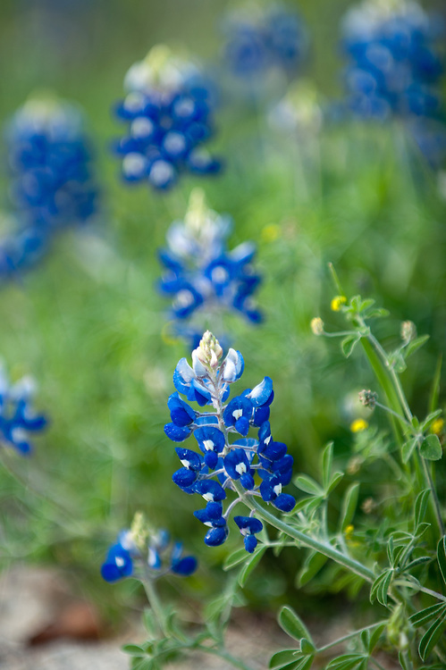 Texas Bluebonnet ( Lupinus texensis) phtotgraphed in Washington, County, Texas.  (C) Mark Matson 2008