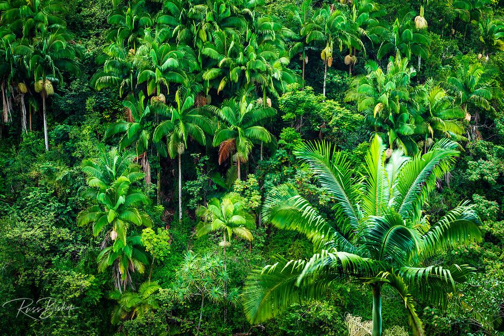 Palm trees and jungle along the lush Hamakua Coast, The Big Island, Hawaii USA