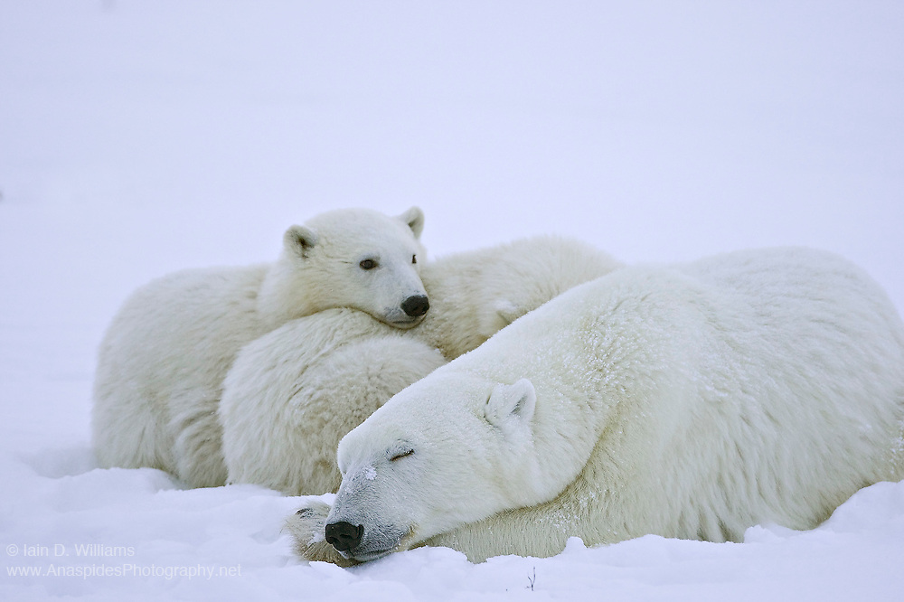 A polar bear mother and two cubs rests on the shoreline of Hudson Bay in Canada whilst waiting for sea ice to freeze