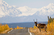 Alaska. Caribou (rangifer tarandus) crossing the Richardson Highway on fall migration.