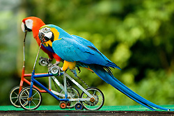 Two parrots riding bicycle.