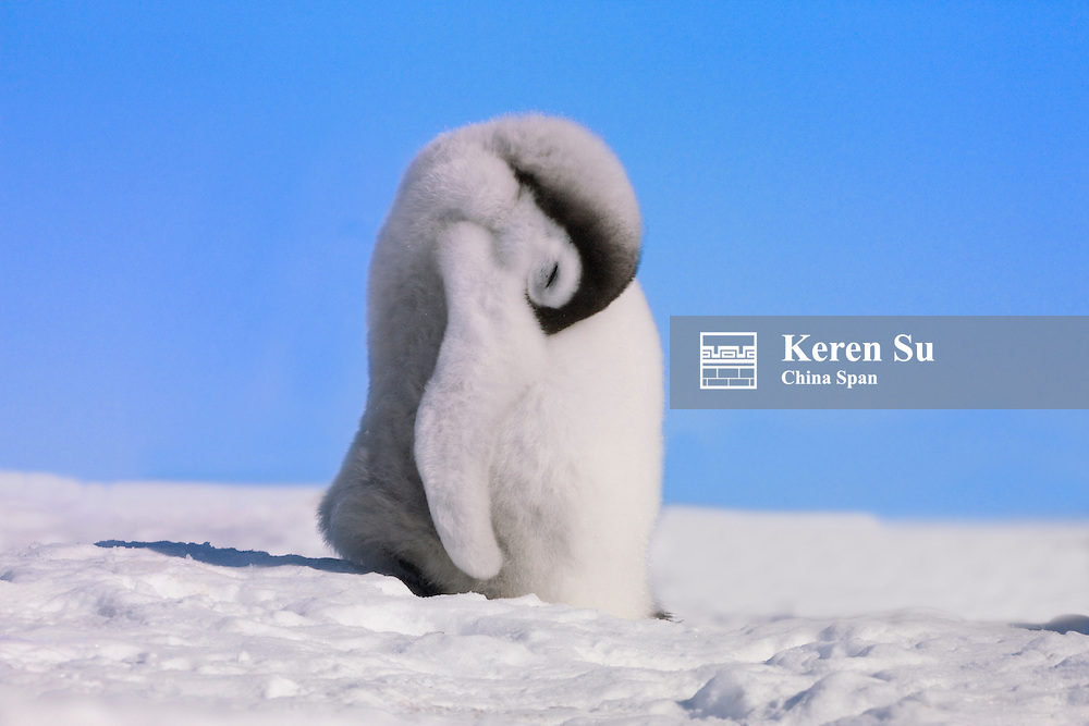 Emperor Penguin chick on ice, Snow Hill Island, Antarctica