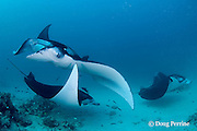 manta rays, Manta alfredi (formerly Manta birostris ), being cleaned by moon wrasses, Thalassoma lunare, and blue-streak cleaner wrasses, Labroides dimidiatus, Hanifaru Bay entrance, Hanifaru Lagoon, Baa Atoll, Maldives ( Indian Ocean )