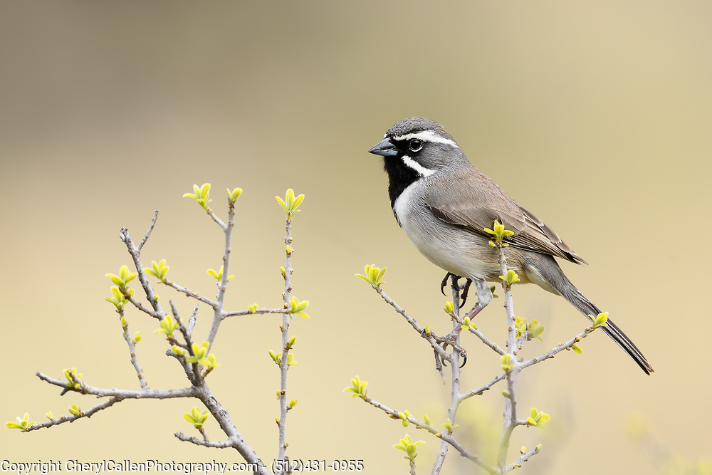 Black-Throated Sparrow in springtime leaf blooms