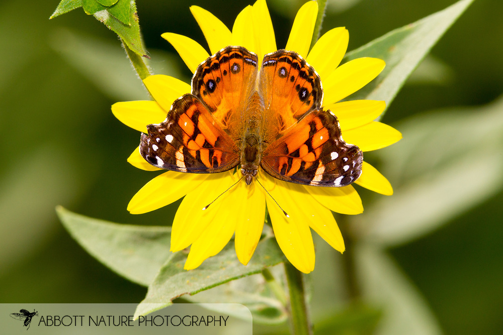 American Lady - Hodges#4434 (Vanessa virginiensis)<br /> OKLAHOMA: McCurtain Co.<br /> Ouachita National Forest; FR 20590<br /> 20-June-2015<br /> J.C. Abbott #2747 &amp; K.K. Abbott