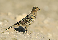 Red-throated Pipit Anthus cervinus. In spring and autumn, it is worth checking any flocks of migrant pipits and wagtails you come across for one of their rarer cousins, vagrants from Asia. Red-throated Pipit Anthus cervinus (L 14-15cm) is distinctively flushed red in breeding plumage but at other times looks rather clean black and white.