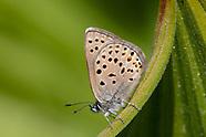 Icaricia saepiolus hilda - Hilda Blue