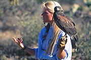 "350130-1010 ~ Copyright: George H. H. Huey ~  Harris hawk, [part of the ""free flight program""]. Arizona-Sonora Desert Museum, Tucson, Arizona."