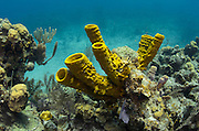 Yellow Tube Sponge (Aplysina fistularis)<br /> Lighthouse Reef Atoll<br /> Belize Barrier Reef<br /> Second largest barrier reef system in the world<br /> BELIZE, Central America