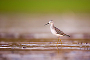 Marsh Sandpiper (Tringa stagnatilis) wading in the water. Photographed in Ein Afek Nature Reserve, Israel in August