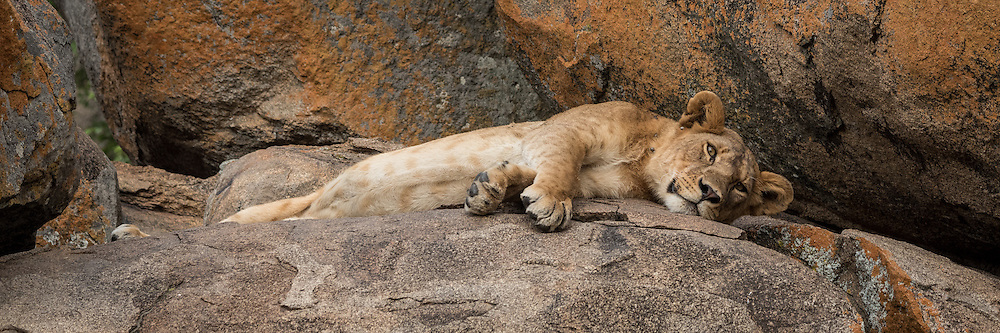 A lioness naps on a kopje in the Serengeti.