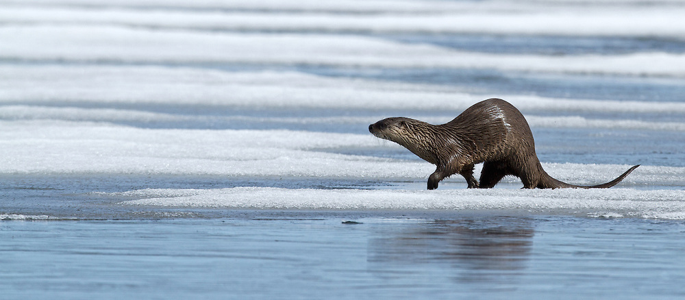 River otters seem particularly fond of playing on slippery surfaces where they can often be observed sliding on their bellies along frozen rivers and lakes. This lone otter navigated the partially frozen surface of Yellowstone Lake in early June.