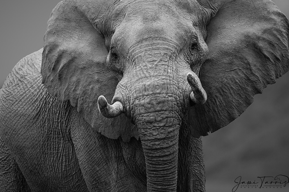 A close-up of a large dominant desert-dwelling elephant bull (Loxodonta africana) with ears flaring as warning in black and white , Skeleton Coast, Namibia, Africa