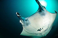 Manta rays congregate in areas where strong currents are funnelled through reefs. These areas concentrate plankton on which mantas feed.  Mantas also congregate at cleaning stations, where small wrasse and butterflyfish clen parasites from the surface of the rays.