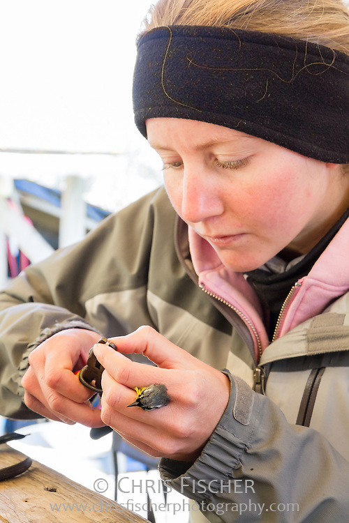 Biological field researcher Olivia DeRugna prepares to attach a leg band to a Magnolia Warbler on Stratton Island, Maine.