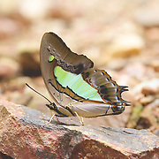 The Pallid Nawab (Polyura arja) is a butterfly found in Thailand that belongs to the Rajahs and Nawabs group.