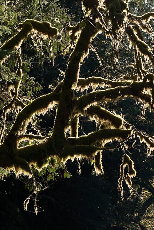 Moss draped Bigleaf maple tree, Middle Santiam Wilderness, Oregon.