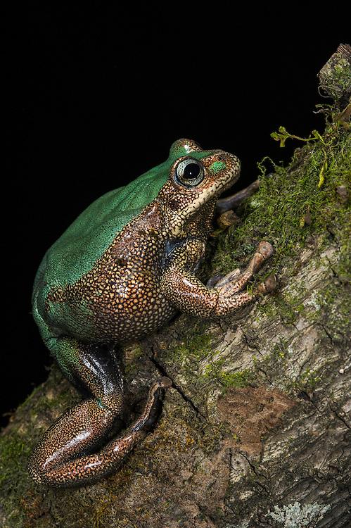 Marsupial Frog (Gastrotheca sp.)<br /> Loja <br /> Andes<br /> ECUADOR, South America<br /> IUCN STATUS: <br /> RANGE: <br /> captive<br /> NEW SPECIES
