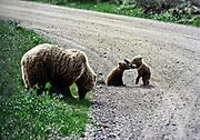 Brown bear with playful cubs in Danali National Park, Alaska, USA