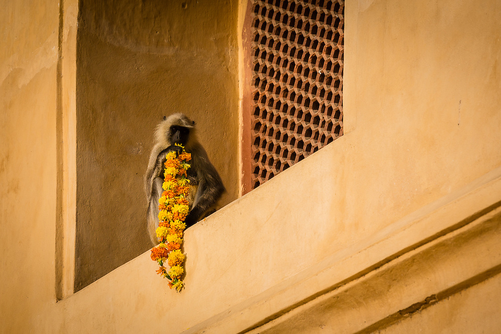 A langur monkey (Semnopithecus dussumieri) feeds on a garland of flowers. Southern Plain Grey Langurs are the most common species of Langur Monkeys in India