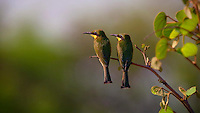 BBC NHU - Deception - The Honeyguide & the Bee-eater